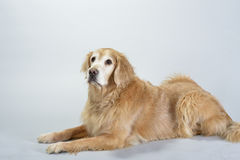 Golden retriever de crabot Photos stock