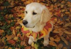 golden retriever in de herfstpark Stock Foto