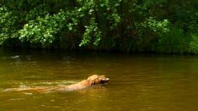 Golden retriever - de hond zwemt in de vijver De hond speelt met tak en geniet van koud water stock videobeelden