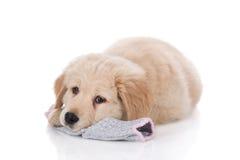 Golden retriever de semaines de taille fixant sur la chaussette Photographie stock libre de droits