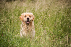 Golden retriever in de weide Royalty-vrije Stock Fotografie