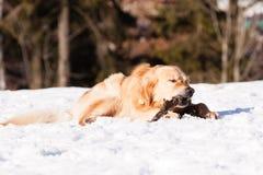 Golden retriever in de winter stock foto's