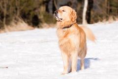Golden retriever in de winter royalty-vrije stock afbeeldingen