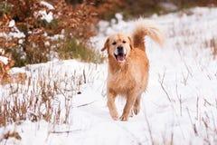 Golden retriever in de winter royalty-vrije stock afbeelding