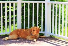 Golden retriever debajo de la sombra Fotografía de archivo libre de regalías