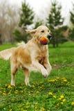 Golden retriever del perro que juega en el parque Foto de archivo