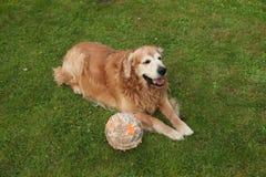 Golden retriever del perro y bola mordiscada Imágenes de archivo libres de regalías