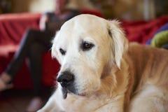 Golden retriever della razza del cane fotografia stock libera da diritti