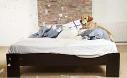 Free Golden Retriever Demolishes A Pillow Royalty Free Stock Photo - 20303985