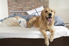 Free Golden Retriever Demolishes A Pillow Stock Photos - 20304073