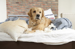 Free Golden Retriever Demolishes A Pillow Royalty Free Stock Photo - 20347765