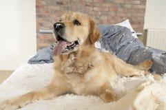 Free Golden Retriever Demolishes A Pillow Stock Photography - 20347862