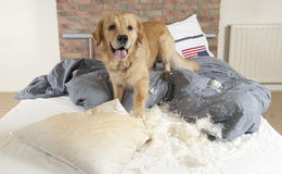 Golden retriever demolishes a pillow Royalty Free Stock Image