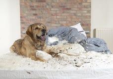 Golden retriever demolishes a pillow Royalty Free Stock Photos