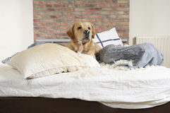 Golden retriever demolishes a pillow Stock Photos