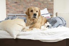 Golden retriever demolishes a pillow Royalty Free Stock Photo