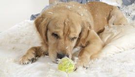 Golden retriever demolishes a pillow Stock Photos