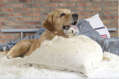 Golden retriever demolishes a pillow Stock Image