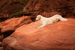 Golden retriever an den roten Felsen Stockfoto