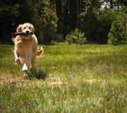 Golden retriever die Haal spelen Stock Foto's