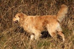 Golden retriever die uit jagen Stock Afbeeldingen