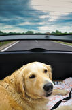 Golden retriever dietro all'automobile Fotografia Stock