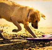 Golden Retriever Digging in Sand. Golden Retriever digging in the sand to bury his toy Royalty Free Stock Photos