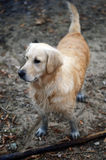 Golden retriever disguise Stock Images