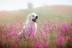 Golden retriever do cão nas flores Fotos de Stock Royalty Free