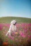Golden retriever do cão nas flores Fotografia de Stock Royalty Free