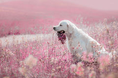 Golden retriever do cão nas flores Foto de Stock