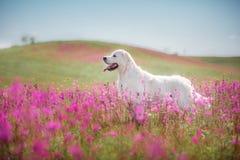 Golden retriever do cão nas flores Fotos de Stock