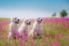 Golden retriever do cão nas flores Imagem de Stock Royalty Free