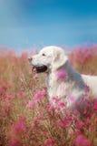 Golden retriever do cão nas flores Foto de Stock Royalty Free