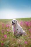 Golden retriever do cão nas flores Imagens de Stock