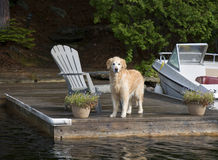 Retriever on the Dock Royalty Free Stock Photo