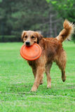 Golden Retriever Dog. A golden retriever dog play on grass Royalty Free Stock Photo