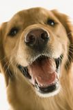 Golden Retriever dog. Stock Image
