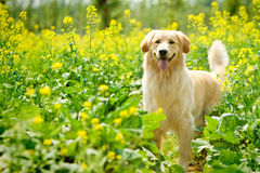 Golden retriever dog. A golden retriever dog in park royalty free stock images