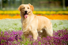 Golden retriever dog. A golden retriever dog in park royalty free stock image