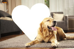 Golden retriever dog Royalty Free Stock Image