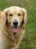 Golden Retriever dog. Beautiful close-up head shot Stock Images