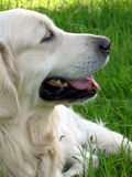 Golden retriever dog. In profile view stock photo