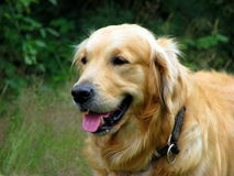 Golden Retriever dog. Beautiful Golden Retriever in close up Royalty Free Stock Photography