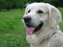 Golden retriever dog. A golden retriever dog happy waiting his owner stock image
