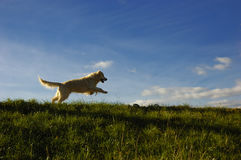 Golden retriever dog. Happy golden retriever dog running on a meadow Stock Images