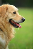 Golden retriever dog. A golden retriever dog in park stock photos