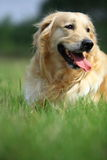 Golden retriever dog. A golden retriever dog in park stock images