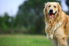 Golden retriever dog. A golden retriever dog in park Royalty Free Stock Photo