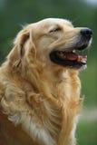 Golden retriever dog. A happy golden retriever dog stock photo